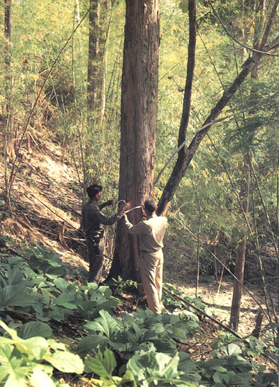Management Of Natural Teak Forests