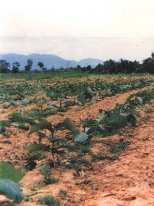 Management of Teak Plantations