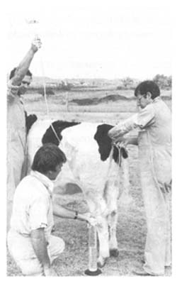 Training manual for embryo transfer in cattle