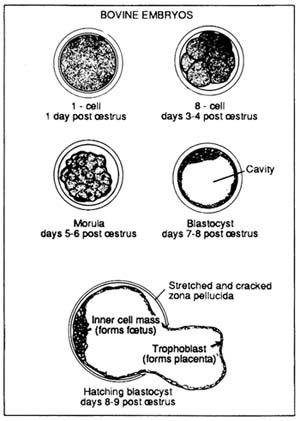 Diagram Of Normal Bovine Embryos FIGURE 15