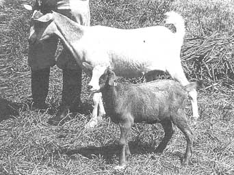 The local Malawi goat