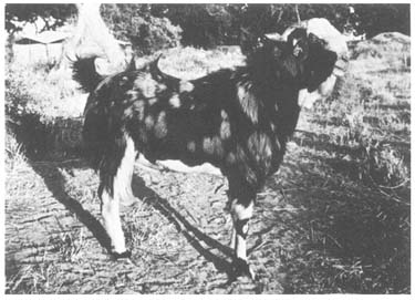 sheep and goat breeds of india