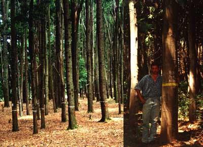 Acacia En El Desarrollo Forestal Productivo De Chile Avances De
