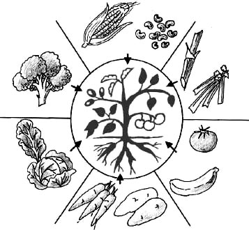 activities the teacher makes up a bagful of foods coming from different plant parts roots and tubers stems leaves buds flowers fruit seeds and sets