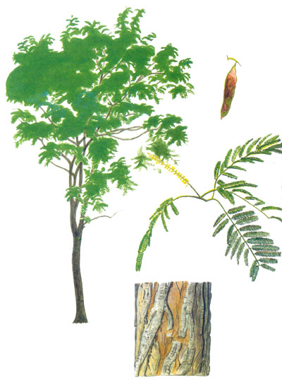 Trees Commonly Cultivated In Southeast Asia
