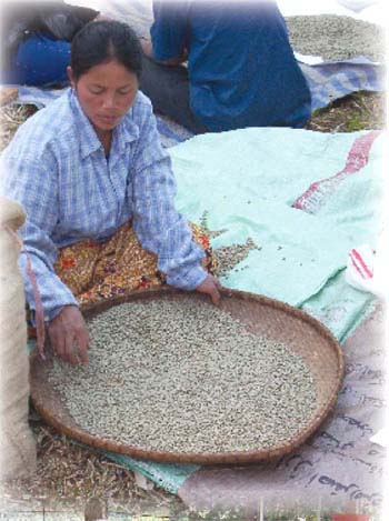 DWARF CATURA // ARABICA 25 Seeds Coffee Bean Plant Seeds Tropical Tree