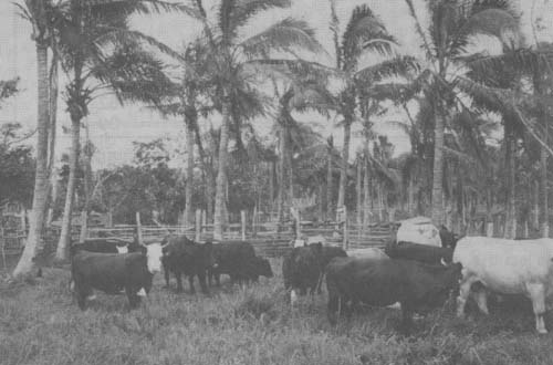 Pasture Cattle Coconut Systems