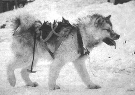 The dogs of the Inuit: companions in survival