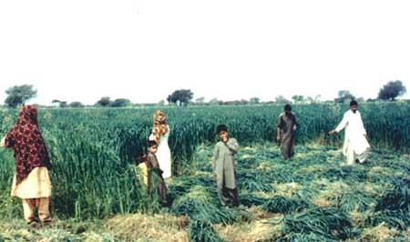 capítulo v cultivos para heno - cereales y gramíneas forrajeras