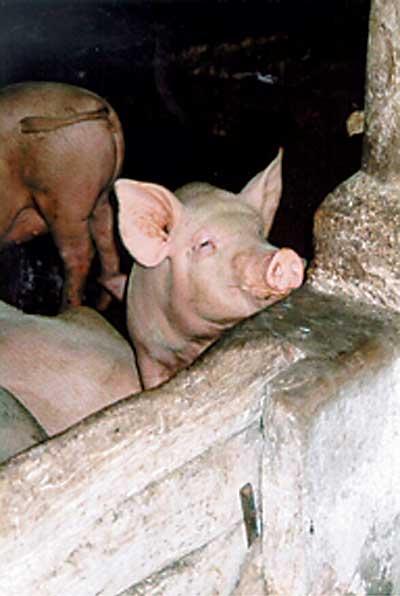 Livestock keeping in urban areas