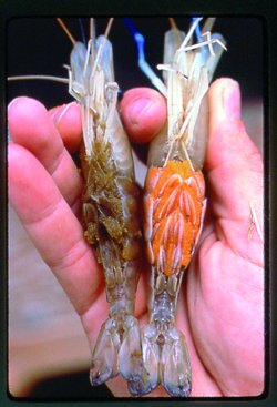 Farming freshwater prawns  A manual for the culture of the giant