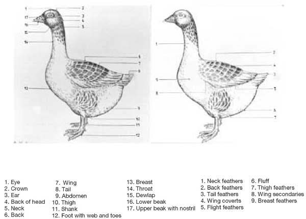 chapter 1 origins and breeds of domestic geese. Black Bedroom Furniture Sets. Home Design Ideas
