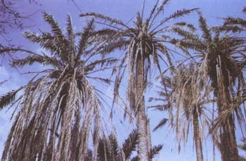 CHAPTER XII: DISEASES AND PESTS OF DATE PALM