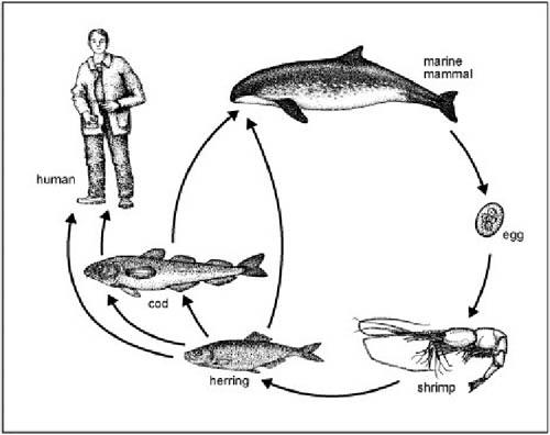diphyllobothriasis biohelminthiasis paraziták a gyomor bél traktusban és kezelésük