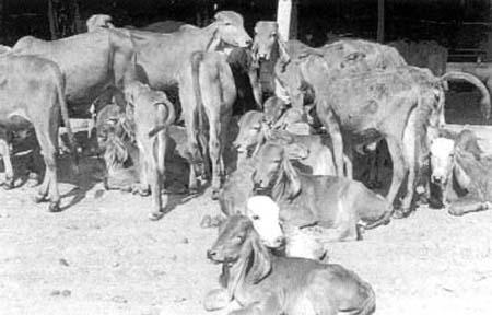 Animal genetic resources information / Bulletin d'information sur