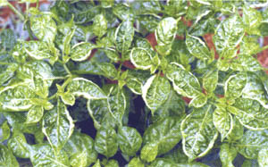 Hot pepper seed and crop production in the Bahamas