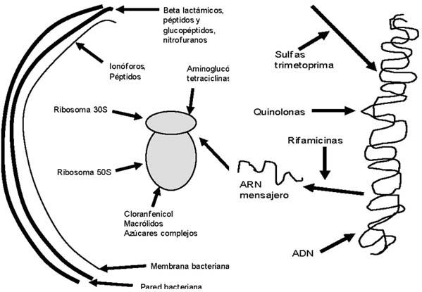 5 Cuáles Son Los Mecanismos De Acción De Los Antibióticos
