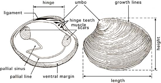 the hatchery culture of bivalves  a practical manual