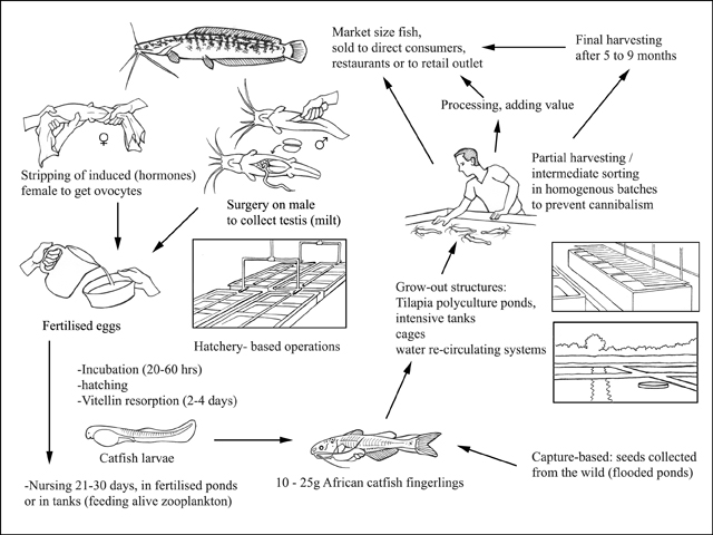 FAO Fisheries & Aquaculture - Cultured Aquatic Species Information ...