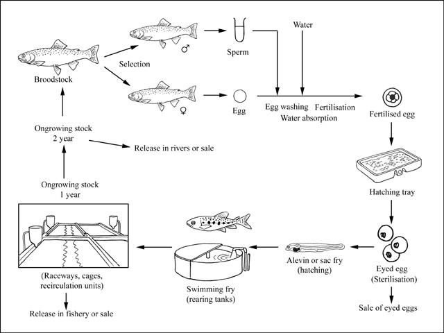 Trout Egg Diagram - Electrical Work Wiring Diagram •