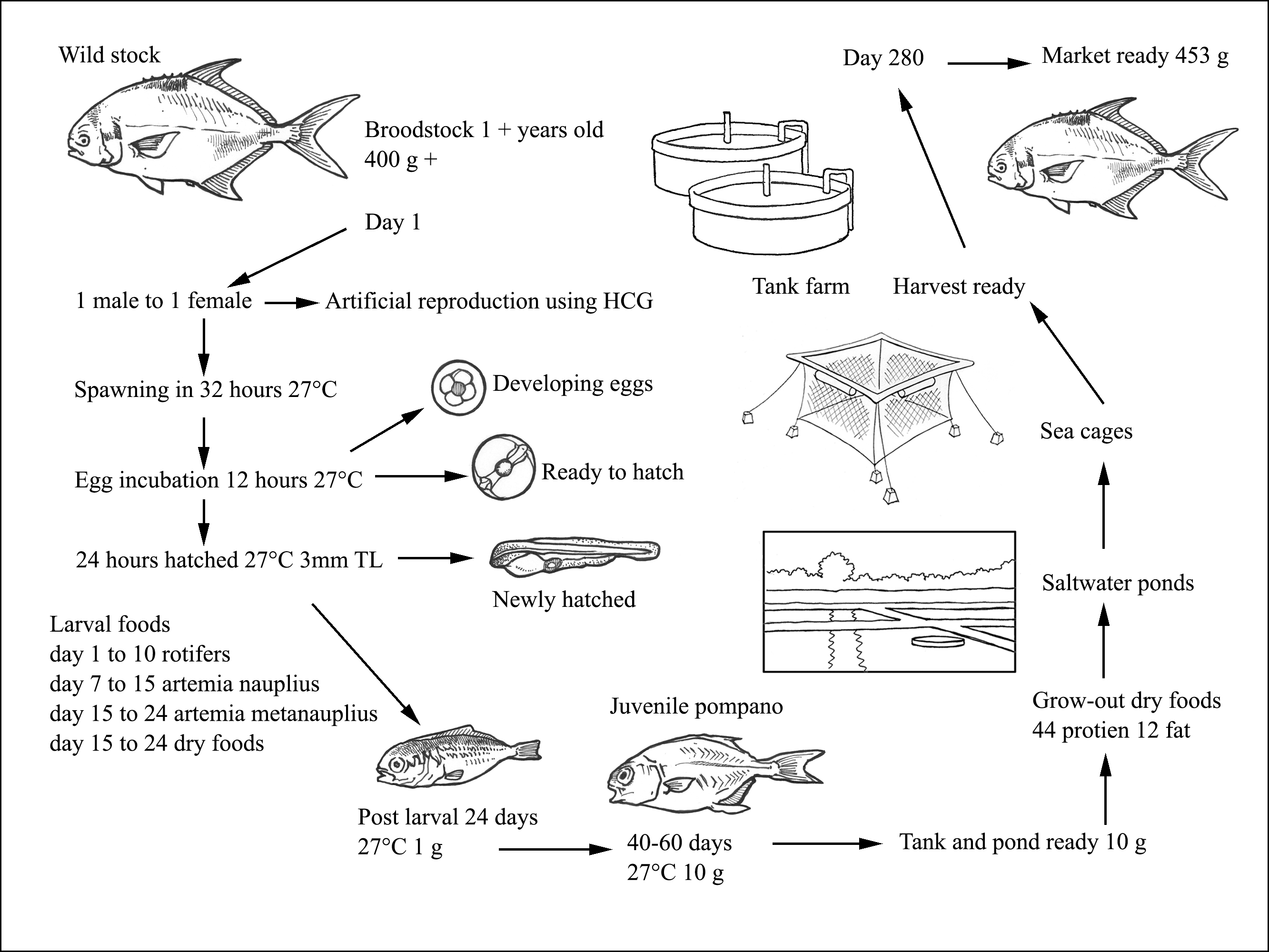 Freshwater fish life cycle - Production Cycle Of Trachinotus Spp