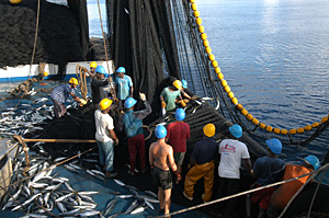 Hauling the purse seine.