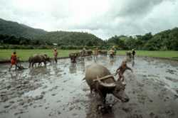 Buffaloes and traditional ploughs are used in rice cultivation as part of an integrated watershed development project in Southeast Asia