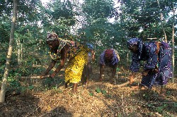 The SLA recognize that fisherfolks are also involved in other economic activities. Here fish processors growing their own trees but also food crops in Moree, Ghana