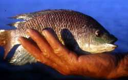 Tilapia are considered to be a threat to native diversity in many areas where they have been introduced