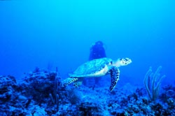 Sea turtles are easily snared in non-selective fishing gear