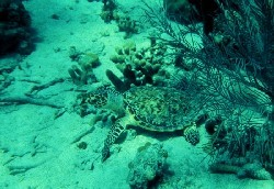 All species of sea turtles have been listed as threatened by CITES