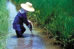 Fertilizing water in an integrated fish and rice culture operation