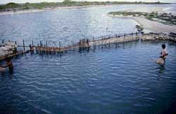 A bamboo barrier closes off a tidal lagoon to make a fish pond