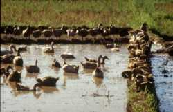 Ducks and snails in the pond provide feed material for fish