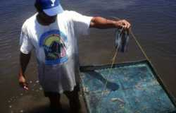 Using a feeding tray helps the fisher assess how well the shrimp are feeding