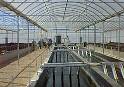 An intensive indoor aquaculture system
