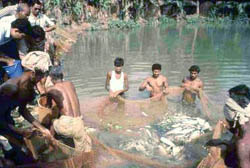 Harvest of carp from a village pond