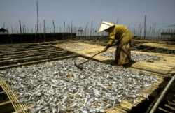 A woman dries and prepares fish. While the men mainly fish, women often do the post-harvest work