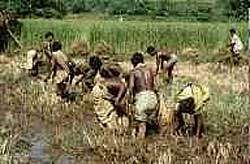 Looking for fish in harvested paddy fields. Local people have been following this practice for centuries