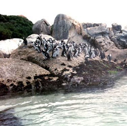 The Boulders Coastal Park near Cape Town, South Africa is a part of the Cape Peninsula National Park. Plans underway to include marine protected areas into the Cape Peninsula National Park by the end of 2002 to protect around 900 pairs of the vulnerable African Penguin Sphenidiscus demersus
