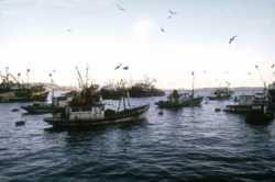 A fishing fleet in a harbour in Chile
