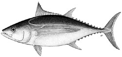 The albacore tuna (Thunnus alalunga) is one of 17 species feautured on UNCLOS' list of highly migratory species