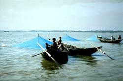Shrimp collectors in Sundarbans mangrove forest (Bangladesh). Collecting shrimp larvae for growout and wild broodstock for reproduction is a viable business in many rural areas