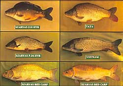 Common carp varieties resulting from selective breeding and genetic improvement