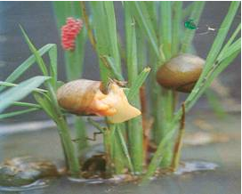 apple snail exterminator on rice field Island apple snail is the ebro river's delta of rice fields and this last year has been catastrophic and our struggle to remove or control.