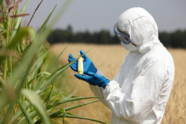 biotechnology engineer examining unripe corn in a field