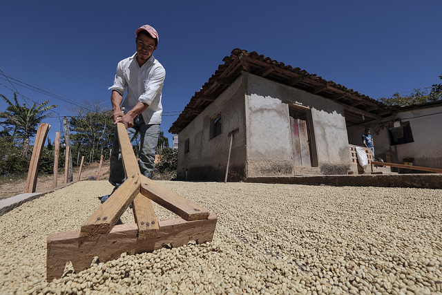 Coffee drying up in a patio, Honduras