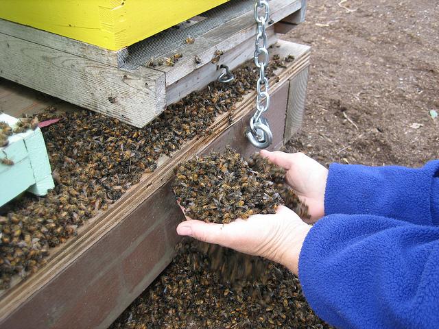 Handful of dead bees