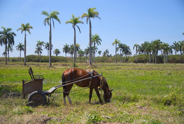 Horse grazing by a rice field in Santa Clara, Cuba