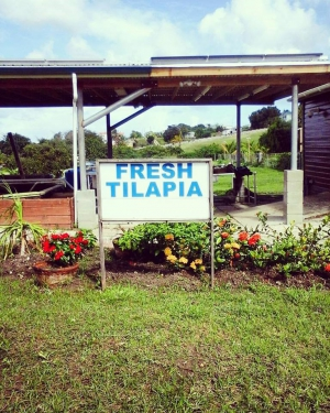 A sign advertising fresh tilapia for sale at Indies Greens.